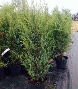 Juniperus communis 'Sentinel', Можжевельник обыкновенный 'Сентинел'