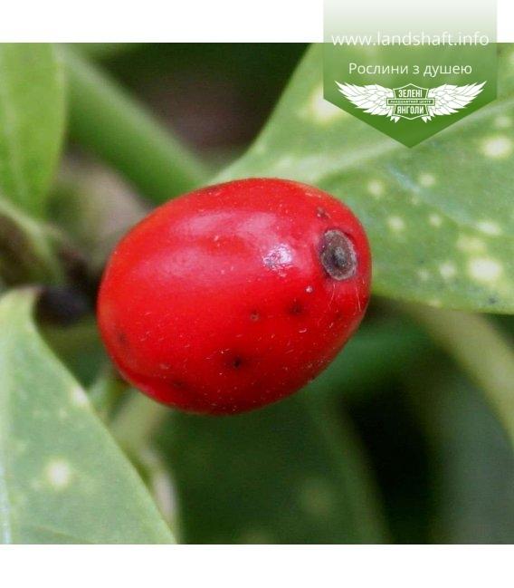 Aucuba japonica, Аукуба японська