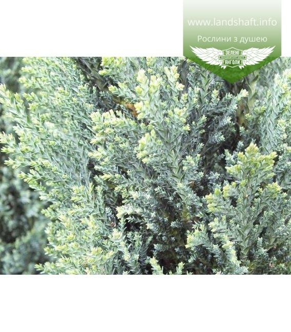 Chamaecyparis lawsoniana 'Ellwood's Silver', Кипарисовик Лавсона 'Елвудс Сілвер'