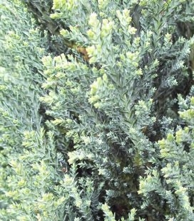 Chamaecyparis lawsoniana 'Ellwood's Silver', Кипарисовик Лавсона 'Элвудс Силвер'