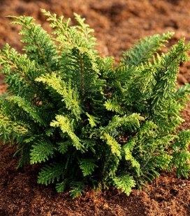 Chamaecyparis obtusa 'Dilatush' Кипарисовик туполистный