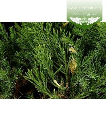 Juniperus chinensis 'Expansa Variegata' Можжевельник китайский