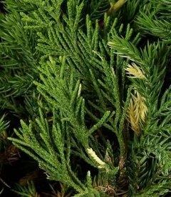 Juniperus chinensis 'Expansa Variegata', Ялівець китайський 'Експанса Варієгата'