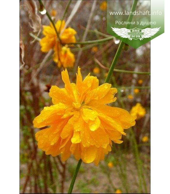 Kerria japonica pleniflora Керрия японская махровая