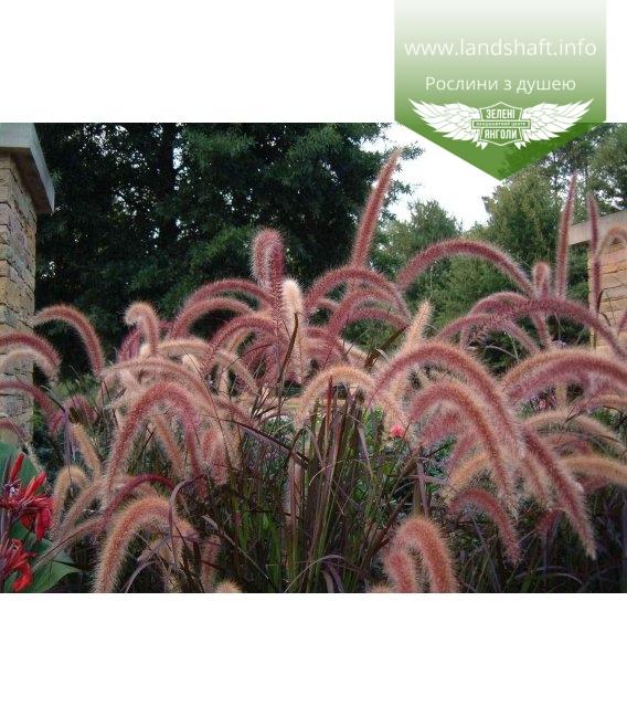 Pennisetum setaceum 'Dwarf Rubrum' Пеннисетум щетинистый