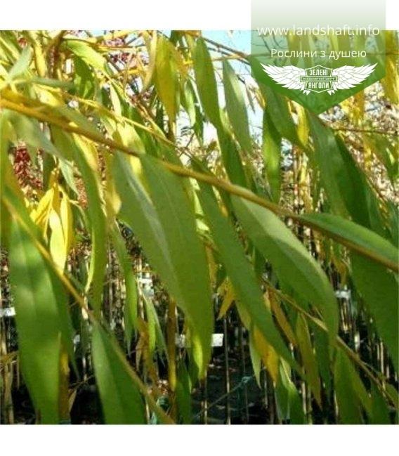 Верба x sepulcralis 'Chrysocoma', Верба золотистоволоса 'Крісокома'