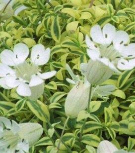 Silene uniflora 'Druett', Смолевка одноцветковая