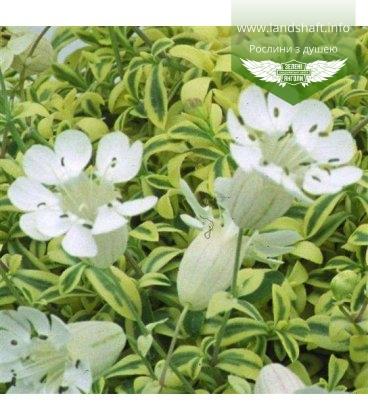 Silene uniflora 'Druett' Смолевка одноцветковая