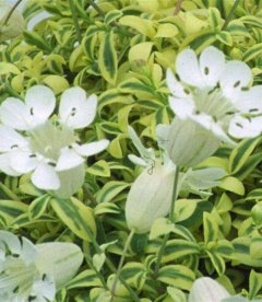 Silene vulgaris, Смілка звичайна
