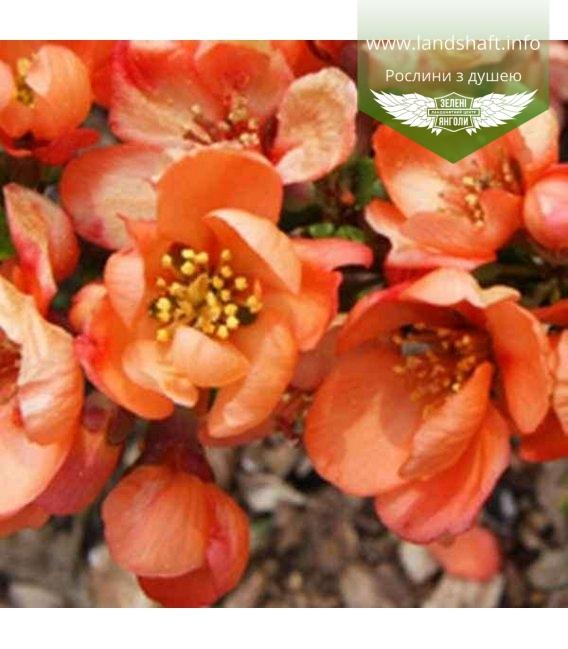 Chaenomeles japonica Айва японская