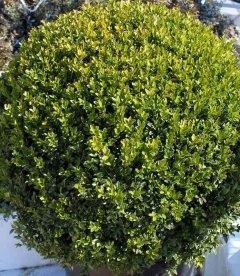 Buxus sempervirens, Самшит вічнозелений