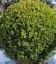 Buxus sempervirens, Самшит вечнозеленый