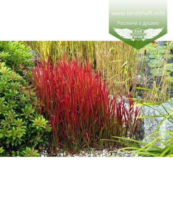 Imperata cylindrica 'Red Baron', Імперата циліндрична 'Ред Барон'