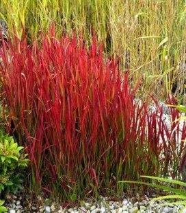 Imperata cylindrica 'Red Baron', Императа цилиндрическая 'Ред Барон'