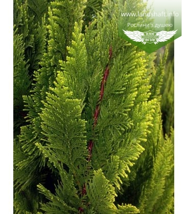 Chamaecyparis lawsoniana 'Ivonne' Кипарисовик Лавсона 'Ивон'