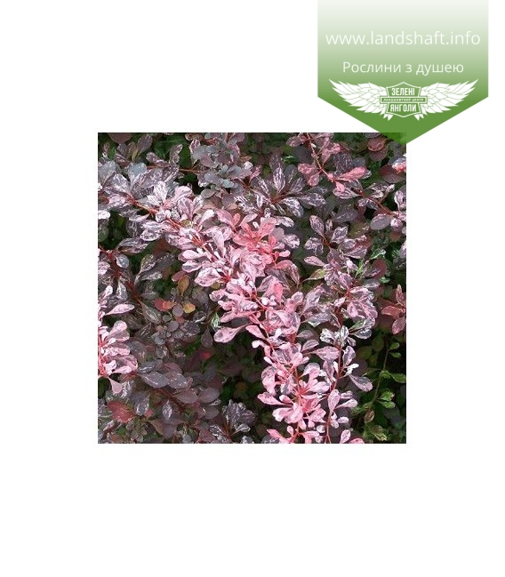 Berberis thunbergii 'Pink Queen' Барбарис Тунберга 'Пинк квин'