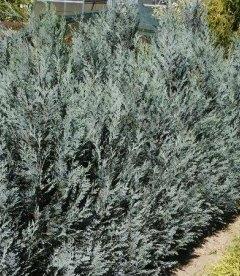 Chamaecyparis lawsoniana 'Pelt's Blue', Кипарисовик Лавсона 'Пелтс Блу'