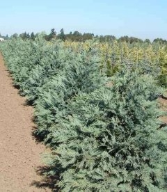 Chamaecyparis lawsoniana 'Pembury Blue' Кипарисовик Лавсона