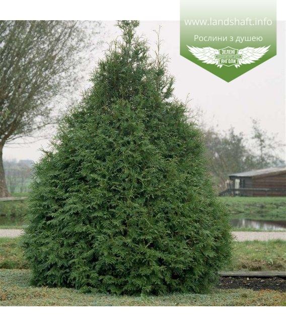 Thuja occidentalis 'Frieslandia' Туя западная