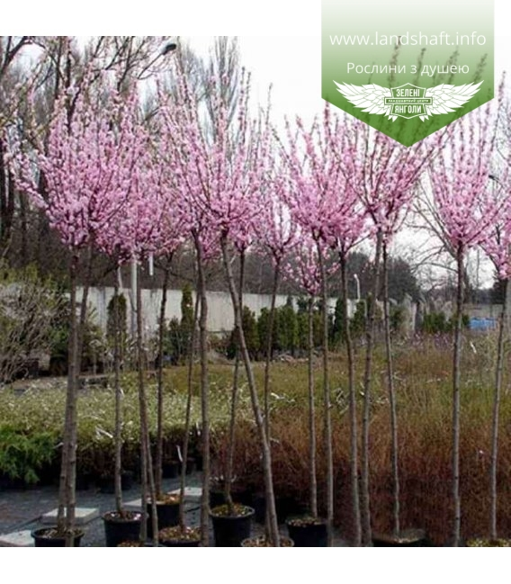 Prunus triloba Миндаль трехлопастной штамб