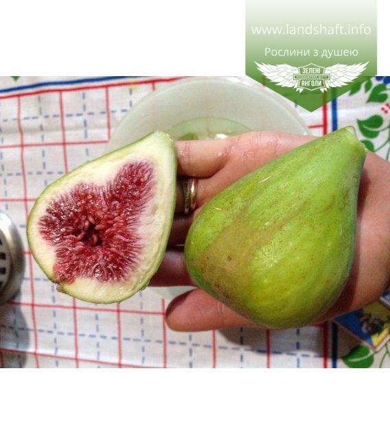 Ficus carica, Інжир