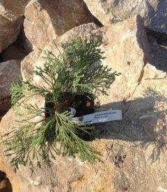 Chamaecyparis lawsoniana 'Silver Globus', Кипарисовик Лавсона 'Сілвер Глобус'