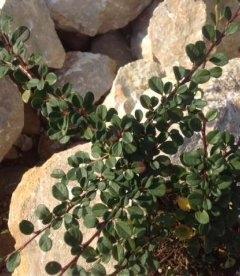 Cotoneaster dammeri Кизильник Даммера