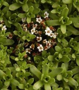 Crassula exilis subsp.sedifolia Красула тонка седумолистна