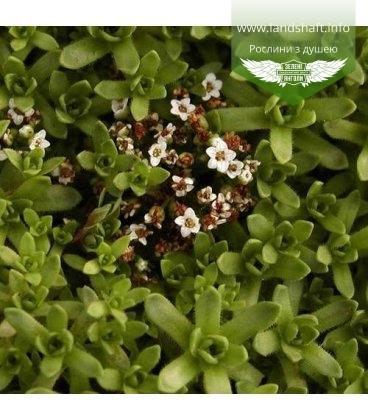 Crassula exilis subsp.sedifolia, Красула тонка седумолиста
