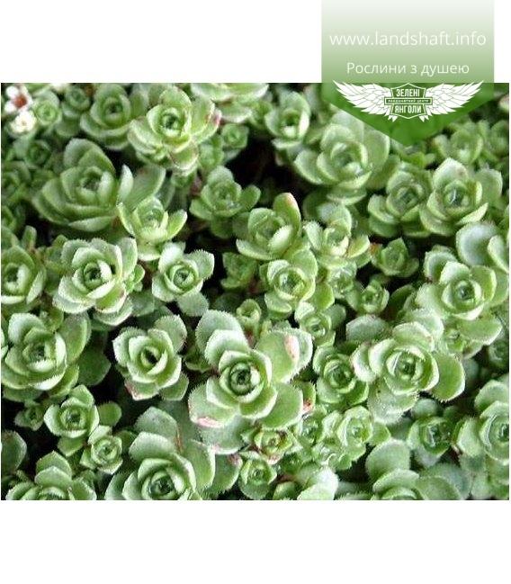 Crassula exilis subsp.sedifolia Толстянка (Крассула) извилистая