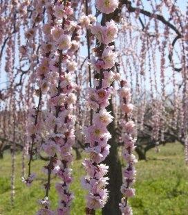Prunus serrulata 'Kiku-Shidare-Zakura', Вишня мелкопильчатая 'Кику Шидаре' сакура