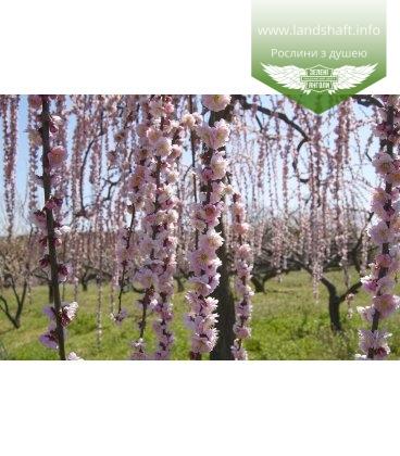 Prunus serrulata 'Kiku-Shidare-Zakura', Вишня дрібнопильчаста 'Кіку-Шідаре' сакура
