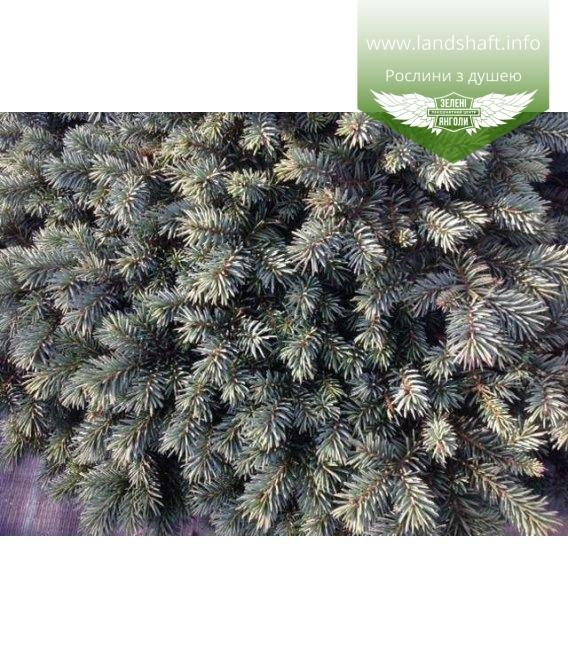 Picea pungens 'Waldbrunn' Ель колючая