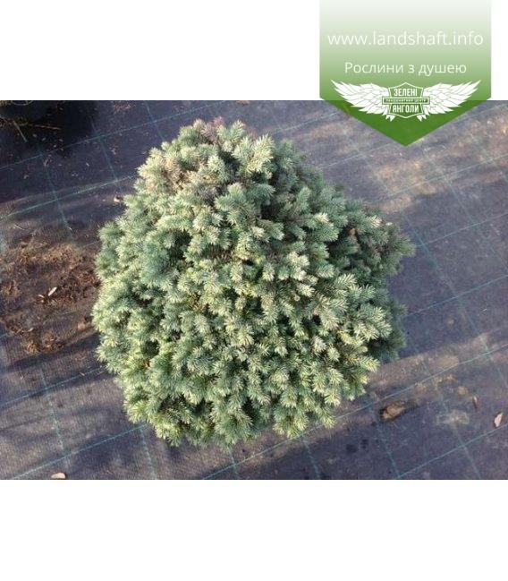 Picea pungens 'Waldbrunn', Ялина колюча 'Вальдбрунн'
