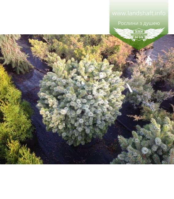 Picea sitchensis 'Silberzwerg', Ялина сітхінська 'Зільберцверг'