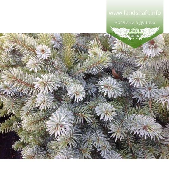 Picea sitchensis 'Silberzwerg' Ель ситхинская