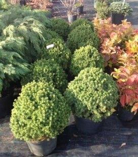 Picea glauca 'Alberta Globe', Ель канадская 'Альберта Глоуб'
