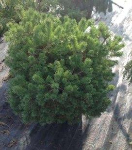 Pinus sylvestris 'Longmoor', Сосна звичайна 'Лонгмур'