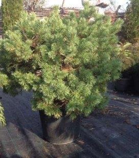 Pinus sylvestris 'Longmoor', Сосна обыкновенная 'Лонгмур'