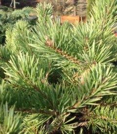 Pinus sylvestris 'Longmoor' Сосна обыкновенная