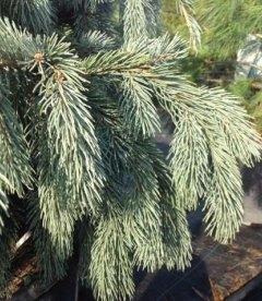 Picea engelmannii 'Glauca', Ель Энгельмана 'Глаука'
