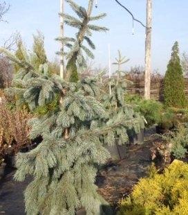 Picea engelmannii 'Glauca' Ялина Енгельмана