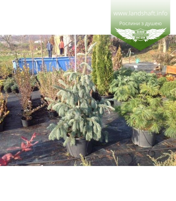 Picea engelmannii 'Glauca' Ель Энгельмана