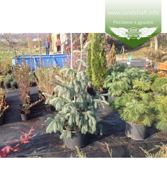 Picea engelmannii 'Glauca', Ялина Енгельмана 'Глаука'