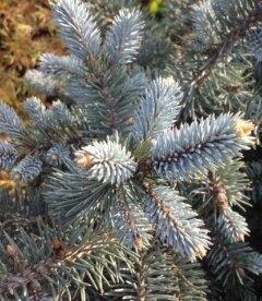 Picea pungens 'Glauca Globosa' Ель колючая