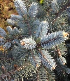 Picea pungens 'Glauca Globosa', Ялина блакитна 'Глаука Глобоза'