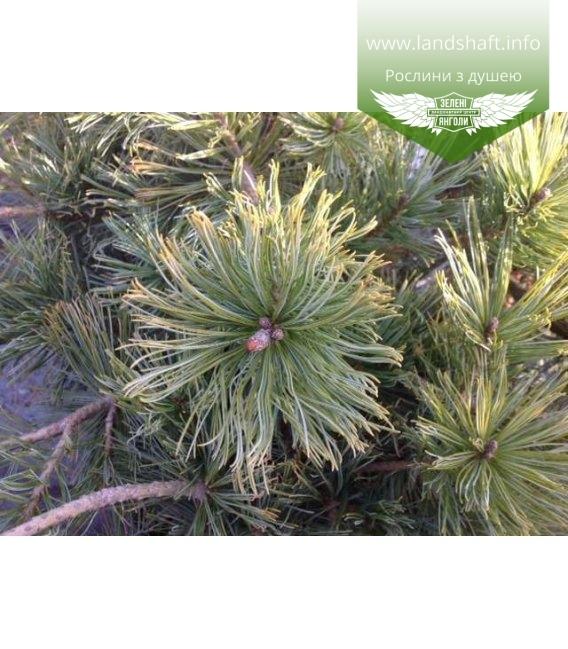 Pinus pumila 'Dwarf Blue', Сосна сланка 'Дварф Блу'