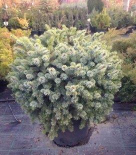 Picea sitchensis 'Silberzwerg', Ель ситхинская 'Зилберцверг'
