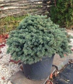 Picea pungens 'Waldbrunn', Ель колючая 'Вальдбрунн'