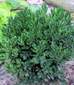 Buxus sempervirens 'Angustifolia', Самшит вечнозеленый 'Ангустифолиа'